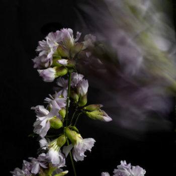 Teoksen nimi: Suopayrtti, Saponaria officinalis