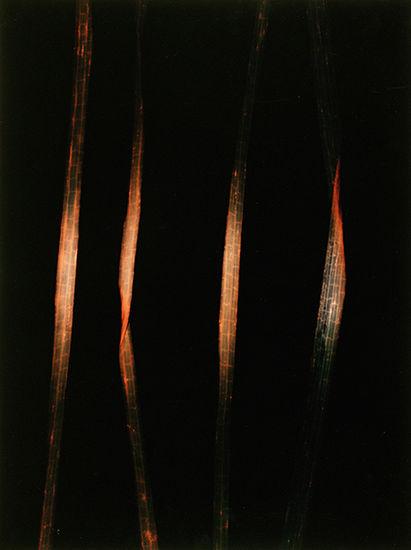 Four strands of grass (black)