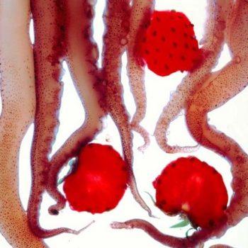 Teoksen nimi: KALAMARIA NE FRAOULES – mustekalaa ja mansikoita