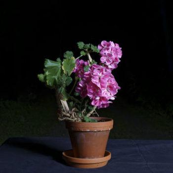 Teoksen nimi: Pelargonia, 2015