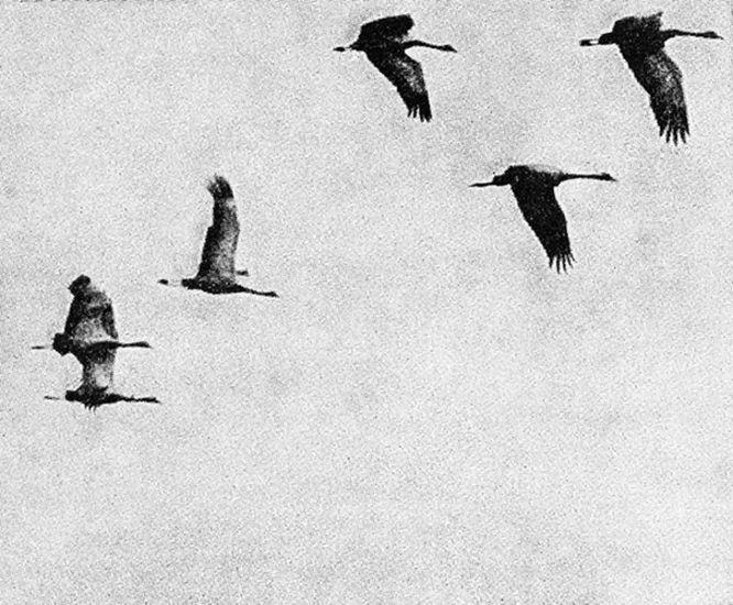 Elämän ihmeet (Lintujen muutto)