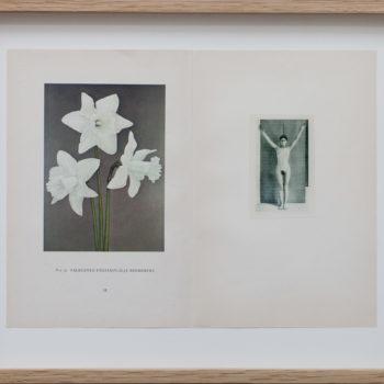 Teoksen nimi: Herbarium (Valkoinen pääsiäislilja)