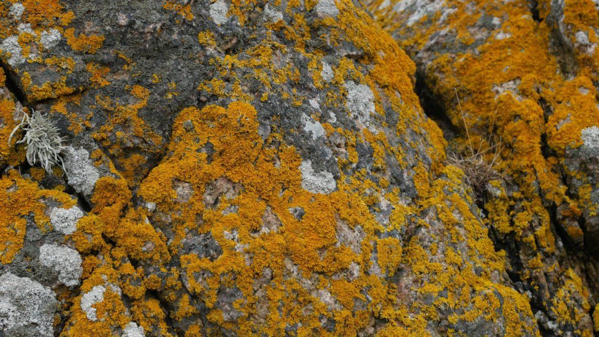 Lichen at Allinge