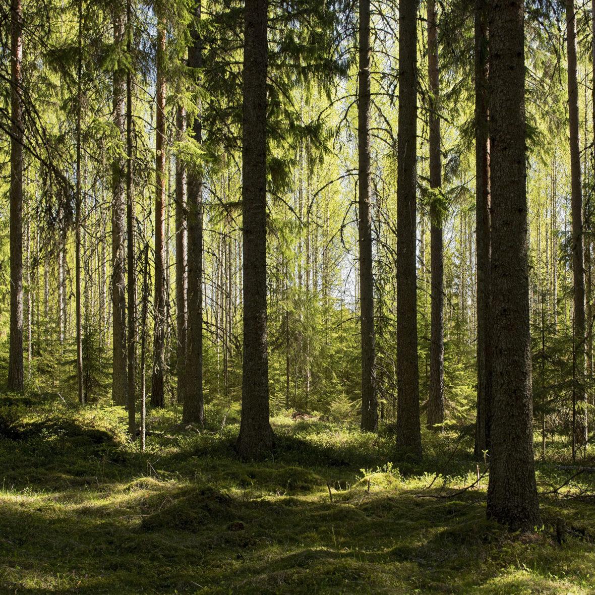 Vihreä Metsä II  / Green Forest II