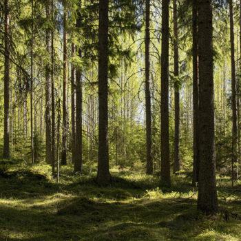 Teoksen nimi: Vihreä Metsä II  / Green Forest II
