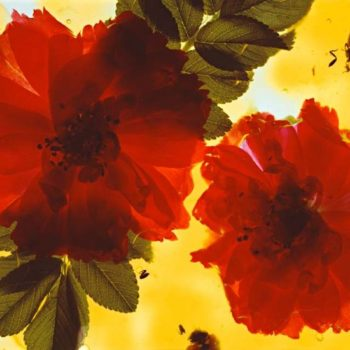 Teoksen nimi: ROSES EN GELEE – ruusuhyytelö