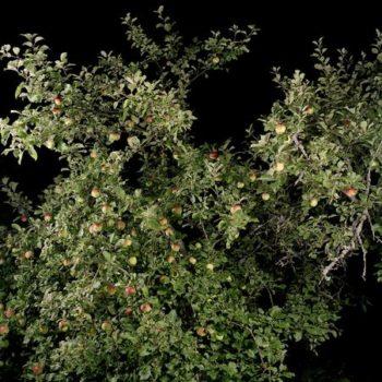 Teoksen nimi: Omenapuu, 2009